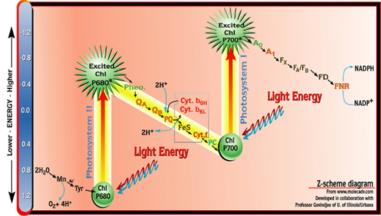 The Z Scheme Diagram Of Photosynthesis