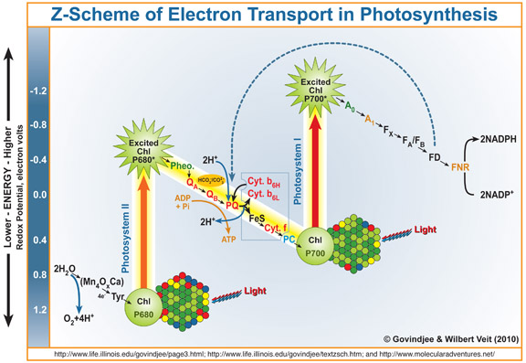 Photosynthesis web resources subject sites z scheme of electron transport in photosynthesis by govindjee and wilbert veit 2010 full figure legend is available at ccuart Images