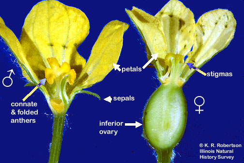 Citrullus flower l.s